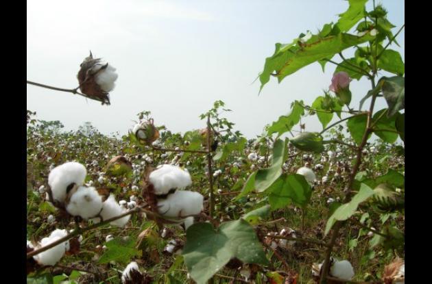 fibra de algodón