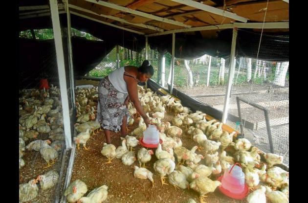 Programa de gallinas ponedoras, que beneficia a familias en la zona rural y barr