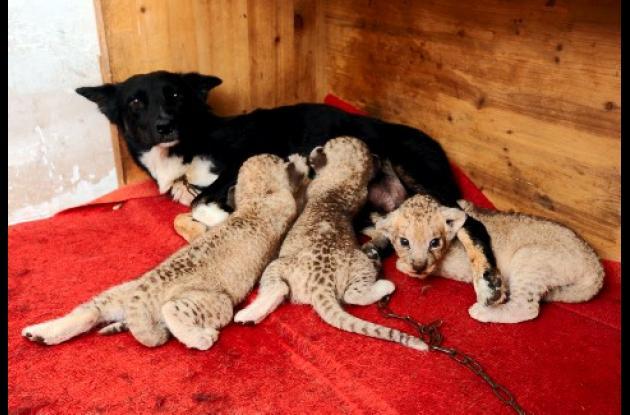 Una práctica que es común entre los humanos también está haciendo carrera entre los animales: las madres sustitutas. El ejemplo se puede observar en los zoológicos chinos, donde las perras amamantan a cachorros de tigres y leones recién nacidos.