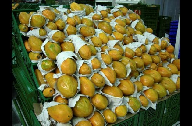 La mayor producción de papaya se registra en los municipios de Valencia y Tierralta, en el Alto Sinú.