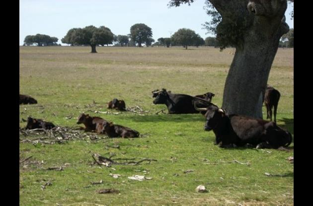 Los animales afectados con la rabia bovina presentan incoordinación de los miembros anteriores, flacidez del tren posterior, parálisis de los músculos de la faringe, insensibilidad y decaimiento.