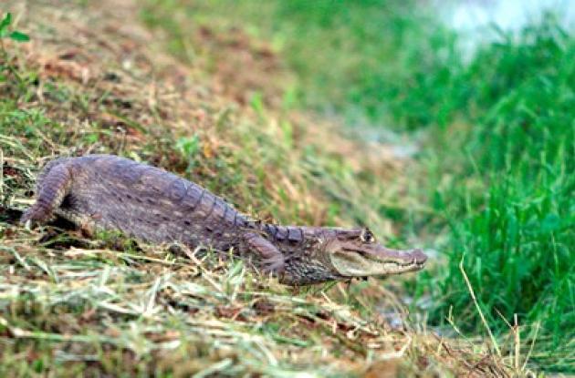 El caimán del Magdalena y el caimán llanero son especies que están apunto de desaparecer.