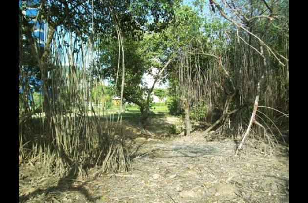 La zona de mangle de la avenida del Lago fue limpiado.