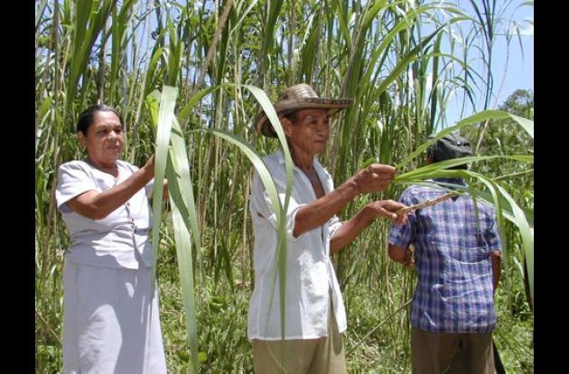 Los cultivadores de la caña flecha en la zona rural de Sincelejo comenzarán a ser capacitados para mejorar la cadena productiva.