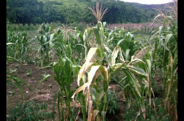 Los campesinos clasifican la poca semilla que les quedó para volver a retomar las siembras el próximo mes, tras haberse perdido cerca de 200 hectáreas por efectos del verano. Foto Wilson López Tovar.