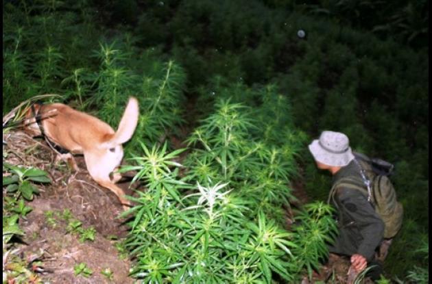 Cultivo de marihuana de las Farc