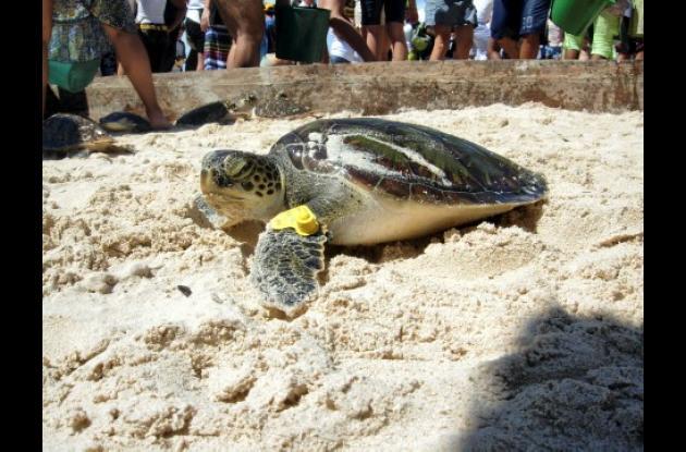 Archivo / El Universal  Las tortugas Carey y Verde son algunas de las especies marinas  del Archipiélago del Rosario que están en peligro crítico de extinción.