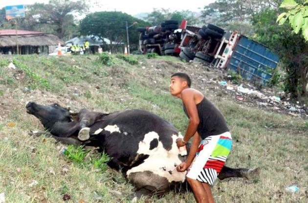 Accidente de tránsito en el que una vaca se vio involucrada.