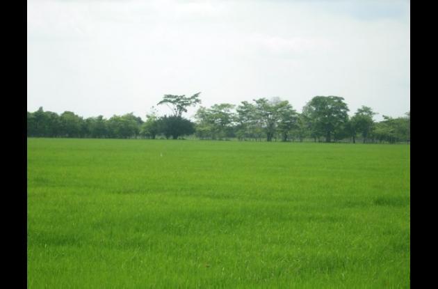 La siembra de arroz se reduce cada vez más en Bolívar.