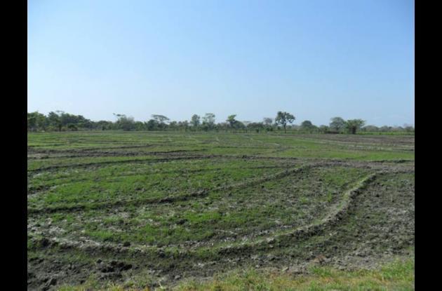 Cultivo de arroz en el Distrito de Riego de Marialabaja.