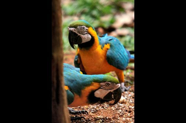 Al menos 55 de las 940 especies de aves están en peligro de extinción en Panamá