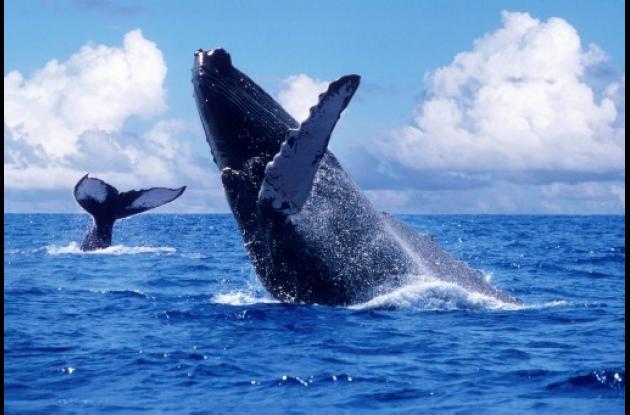 ballenas bahia solano nuqui