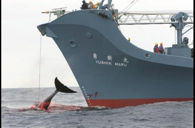 Ballena cazada por japoneses