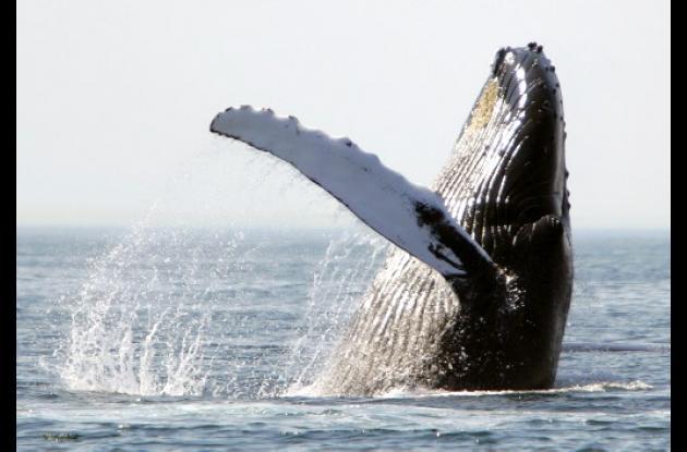 El Parque Nacional Natural Uramba Bahía Málaga es una salacuna para las ballenas