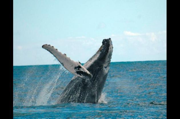 El avistamiento de ballenas es uno de los atractivos turísticos del caribe colom