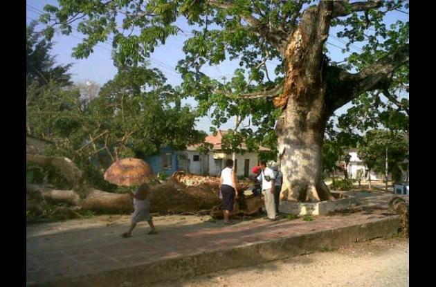 bonga árbol centenario arjona