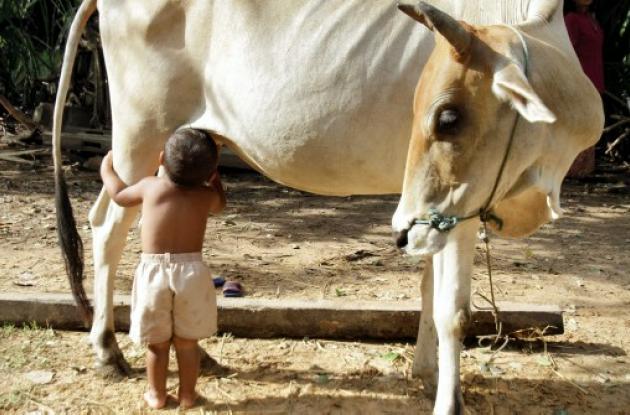 Niño en Camboya es amamantado por vaca