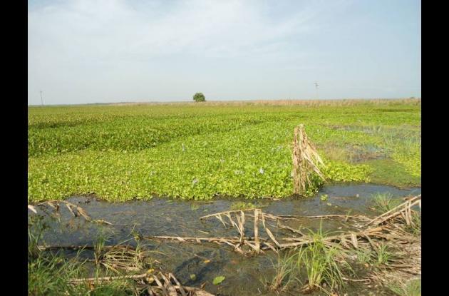 La abundancia de plantas en la Ciénaga Grande de la Magdalena impide las faenas