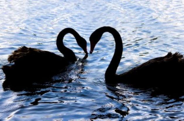 Amor de cisne