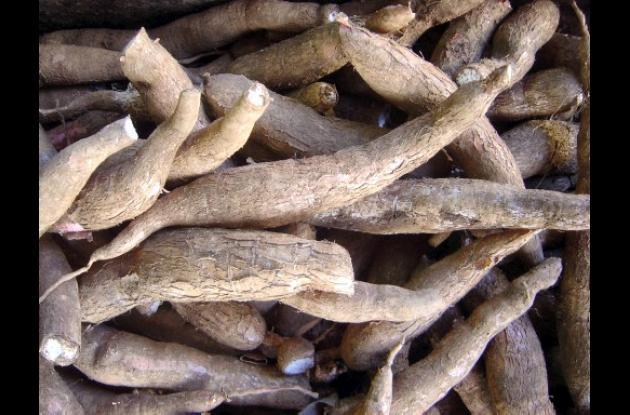 producción agrícola de yuca