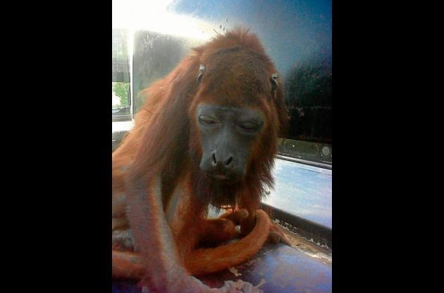 Mono aullador rescatado por las autoridades.