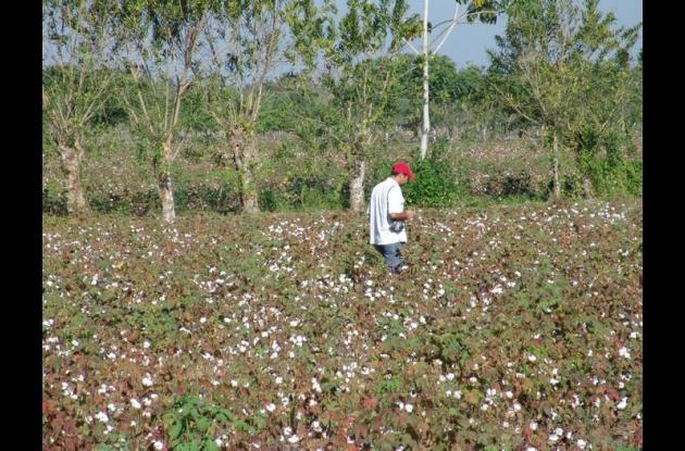 Cultivo de algodón en Córdoba