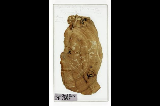 Fósiles recolectados por el científico Charles Darwin