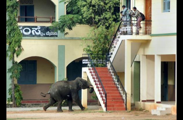 El elefante persiguió a las personas que se refugiaron en lo alto de una escaler