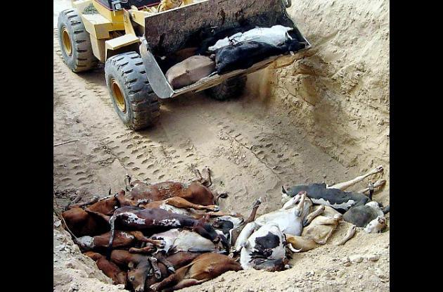 fiebre aftosa vacas paraguay