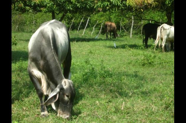 la falta de pastos afecta a las ganaderías de Bolívar