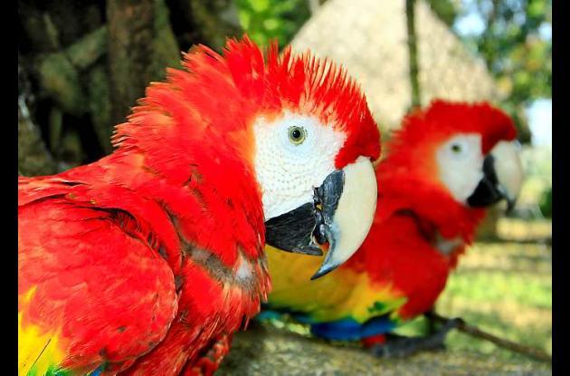 Las aves cuestan unos 2.000 dólares en el mercado