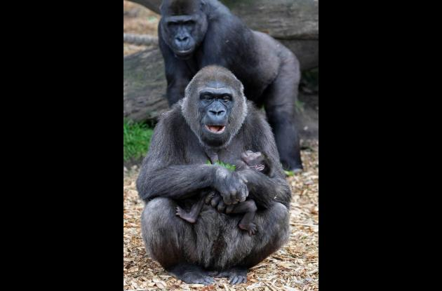 Gorilas.