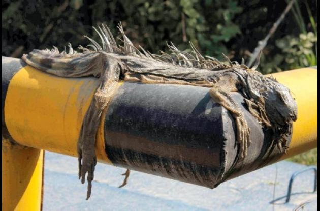 iguana muerta