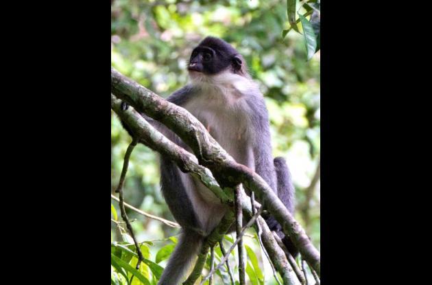 Langur de Miller es una especie de simio que se creía extinguida.