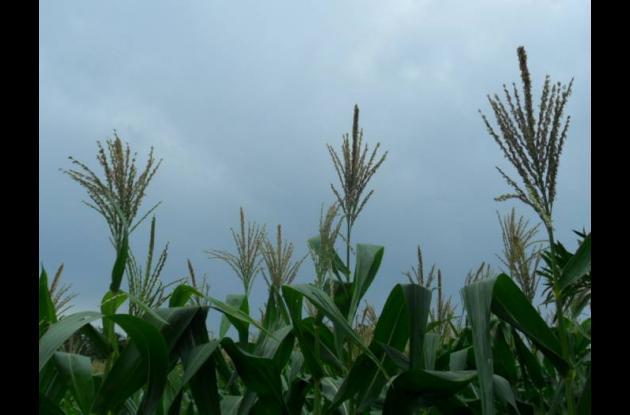 Más de 500 mil personas dependen laboralmente del cultivo de maíz.