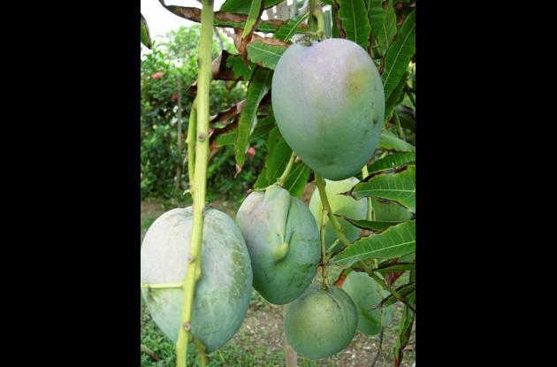 Cosecha de mango de Santa Rosa de Lima, en el norte de Bolívar.