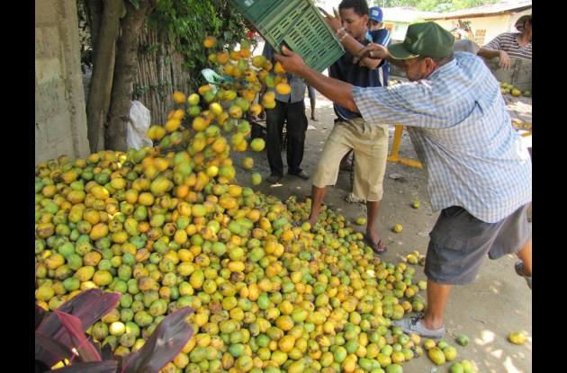Los mangos son recolectados y posteriormente seleccionados para venderlos.