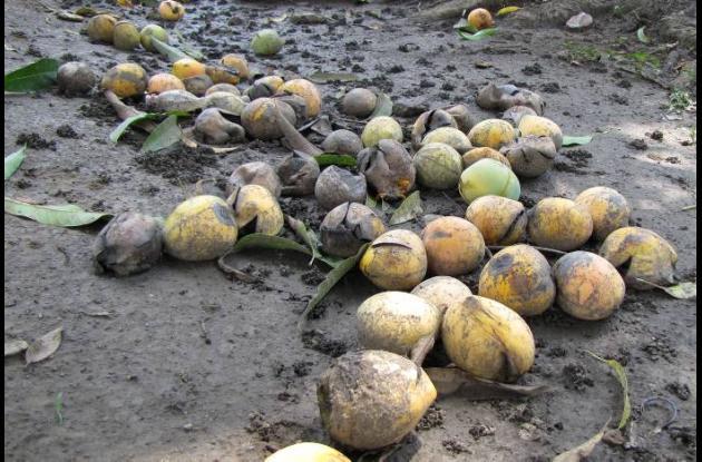 Es tanta la abundancia de mangos que algunos se pierden en el suelo.