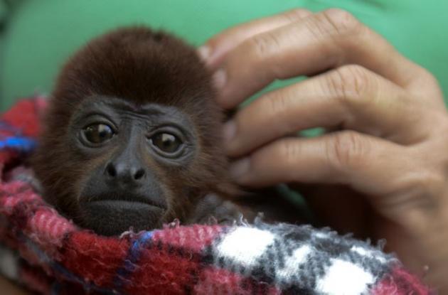 Los monos aulladores entran a rehabilitación en el Zoológico Santa Fe.