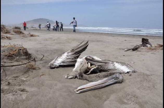 Sigue la muerte de pelícanos en las costas de Perú.