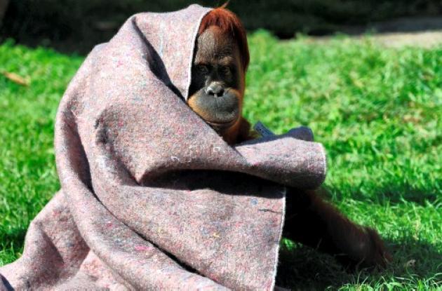Orangutanes en Zoo de Río de Janeiro, afectados por el frío.