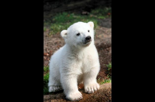 Osito polar en peligro