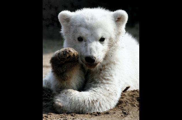 Oso polar Knut