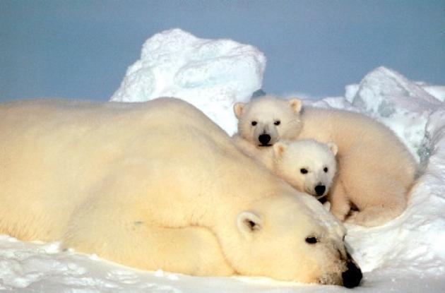 El científico es investigado por detectar muerte de osos polares en el Ártico.
