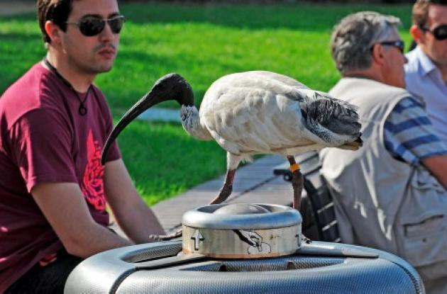 pájaros australia ibis
