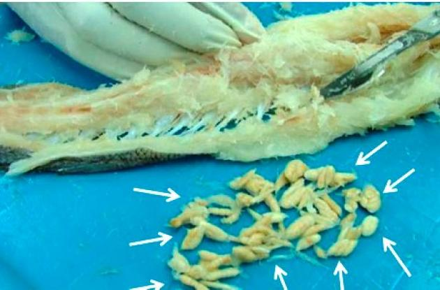 peces/unicartagena/parasitos