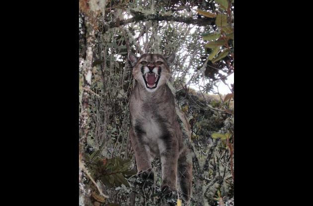 Puma en el Parque los Nevados