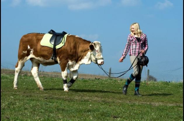 Una joven alemana usa vaca en vez de caballo para saltar valla.