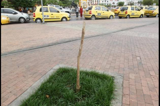 Se muere arborización de la Plaza de la Paz.