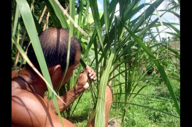 La siembra de la caña flecha es impulsado en la zona indígena de Sincelejo.